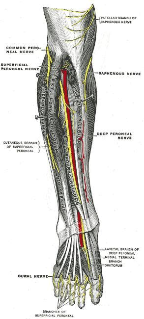 Superficial Peroneal Nerve - Anatomy - Orthobullets