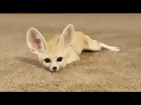Cute Fennec Fox Pictures   Cute Pictures & Videos